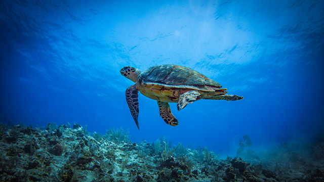 Sea Turtle Seen Underwater While Diving, Turks And Caicos