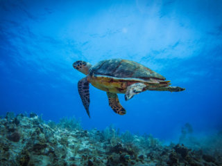 Sea Turtle Seen On A Scuba Diving Excursion At East Bay Resort