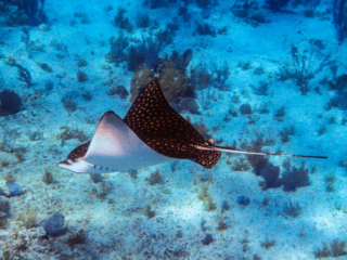 Stingray - East Bay Resort South Caicos Island
