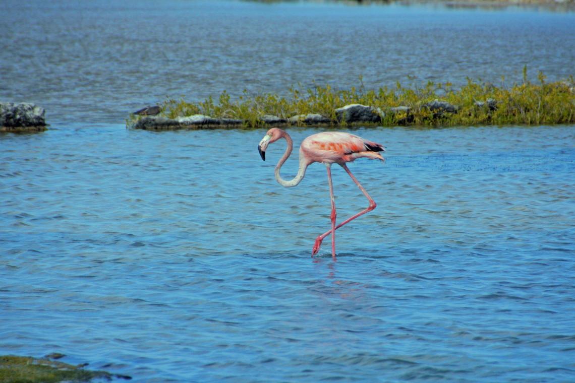 South Caicos Flamingos