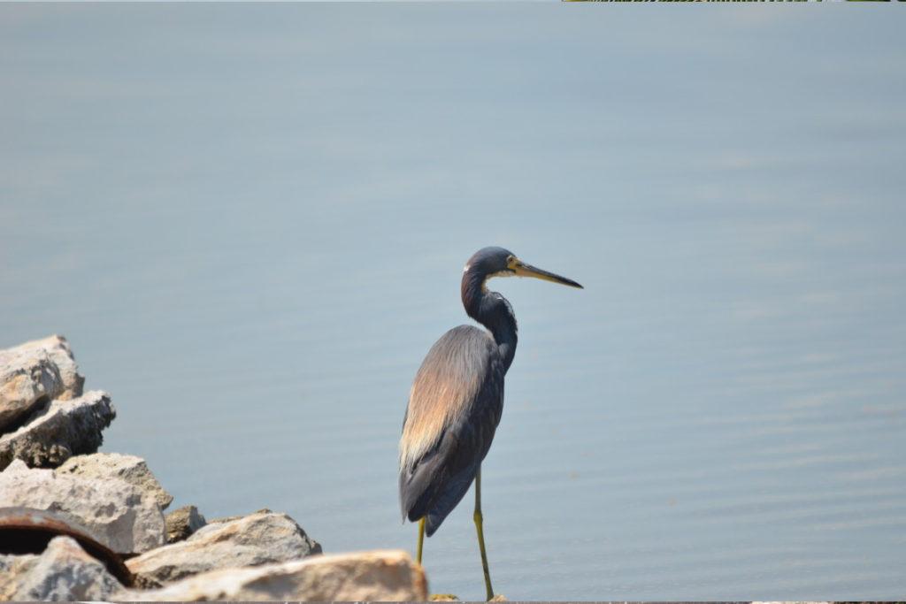 Birds of South Caicos
