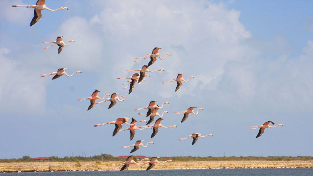 South Caicos Flamingos Flying