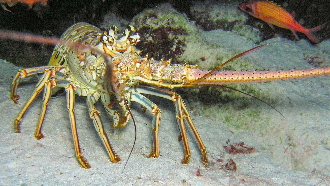 Lobster Season In South Caicos