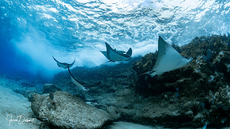 East Bay Diving - Eagle Rays